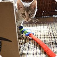 Adopt A Pet :: Stud Muffin and Leonardo DiCat - Brooklyn, NY