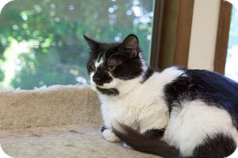Domestic Mediumhair Cat for adoption in Portland, Oregon - Pippin
