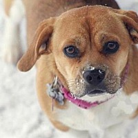 Adopt A Pet :: FOSTER NEEDED FOR PREGNANT PIPER!! - Franklin, TN