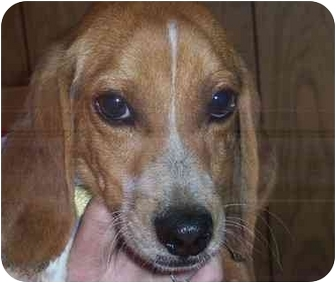 Beagle Dog for adoption in Ventnor City, New Jersey - PETE