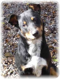 Australian Cattle Dog/Doberman Pinscher Mix Dog for adoption in Wyoming, Minnesota - Cowboy