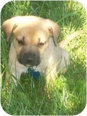 Golden Retriever Mix Puppy for adoption in Avon, New York - Dolly