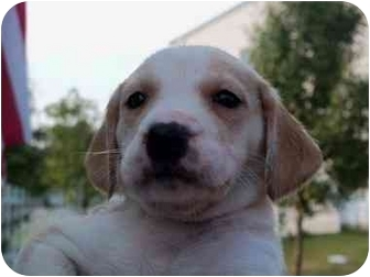 Hound (Unknown Type) Mix Puppy for adoption in Broadway, New Jersey - Georgette