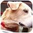 Photo 3 - Golden Retriever/Labrador Retriever Mix Dog for adoption in Pawling, New York - MAX