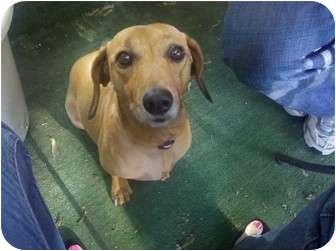 Dachshund Dog for adoption in Oak Lawn, Illinois - Princess Jasmine