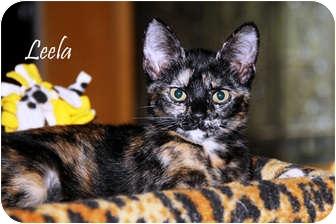 Domestic Shorthair Kitten for adoption in Chester, Maryland - Leela