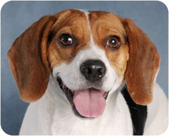 Beagle Dog for adoption in Chicago, Illinois - Max