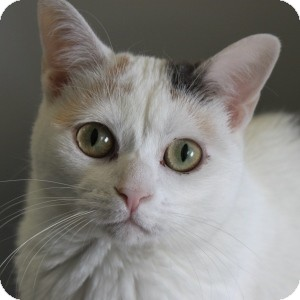 Domestic Shorthair Cat for adoption in Naperville, Illinois - Jazzy