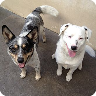 Australian Cattle Dog Mix Dog for adoption in Scottsdale, Arizona - Lucky & Patches