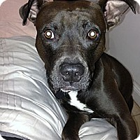 Adopt A Pet :: URGENT - Roc! - Bellflower, CA