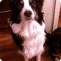 Adopt A Pet :: Dixie purebred - Sacramento, CA