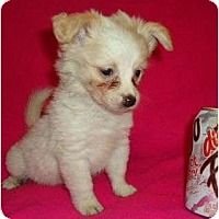 Adopt A Pet :: GiGi - Plainfield, CT
