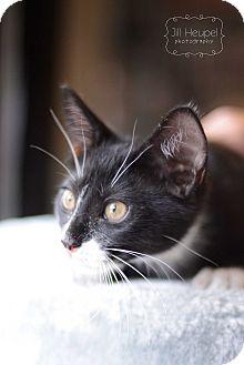 Domestic Shorthair Kitten for adoption in Edwardsville, Illinois - Vera