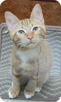 Domestic Shorthair Cat for adoption in Benbrook, Texas - Crush