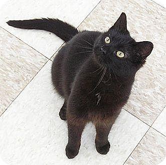 Domestic Shorthair Cat for adoption in Glenwood, Minnesota - Paris