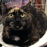 Domestic Shorthair Cat for adoption in Stanhope, New Jersey - Skittles
