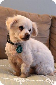 Pomeranian/Chihuahua Mix Dog for adoption in Philadelphia, Pennsylvania - BRUNO! *wheelchair!*