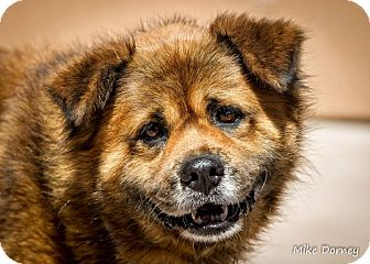 Chow Chow/German Pinscher Mix Dog for adoption in Westminster, California - Hunter