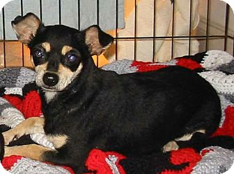 Chihuahua/Dachshund Mix Dog for adoption in Killian, Louisiana - Missy