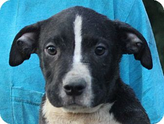 Pit Bull Terrier Mix Puppy for adoption in Colonial Heights, Virginia - Brutus