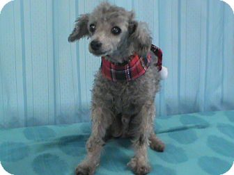 Poodle (Toy or Tea Cup) Dog for adoption in Maynardville, Tennessee - Cody