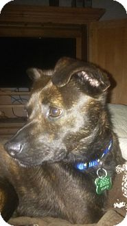 Chihuahua/Terrier (Unknown Type, Medium) Mix Dog for adoption in Media, Pennsylvania - Ollie