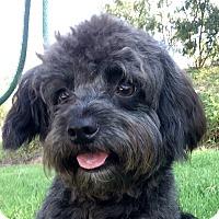 Adopt A Pet :: Dexter - Mission Viejo, CA