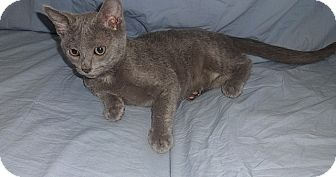 Russian Blue Kitten for adoption in Tampa, Florida - Lionel