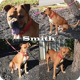 Boxer Mix Dog for adoption in Union City, Tennessee - Smith