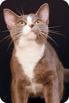 Domestic Shorthair Cat for adoption in Newland, North Carolina - Francis