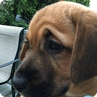 Adopt A Pet :: Boo - Kimberton, PA