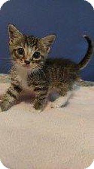 Domestic Shorthair Kitten for adoption in Hampton, Virginia - BRANDON (BETTE BABY(BABBER))