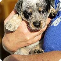 Adopt A Pet :: Lois Lane! - New York, NY