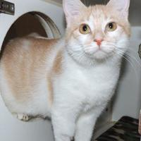 Adopt A Pet :: Dreamsicle - Westville, IN