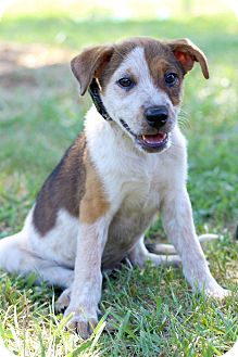 Pointer Mix Puppy for adoption in Waldorf, Maryland - Sandy