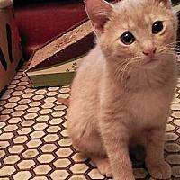 Adopt A Pet :: Gidget - Maywood, IL