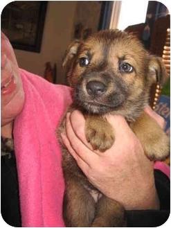 Australian Cattle Dog/Shepherd (Unknown Type) Mix Puppy for adoption in Buffalo, New York - Bashful: PENDING