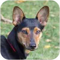 Corgi/Miniature Pinscher Mix Puppy for adoption in Coleraine, Minnesota - Rambo