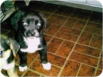 Cocker Spaniel/Beagle Mix Puppy for adoption in all of, Connecticut - Cocky