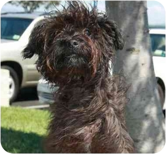 Miniature Poodle/Maltese Mix Puppy for adoption in San Clemente, California - JET