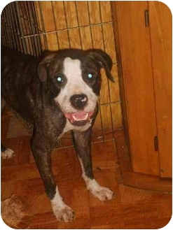 American Pit Bull Terrier Mix Dog for adoption in little rock, Arkansas - Lil Man