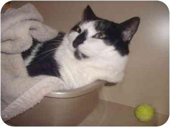Domestic Mediumhair Cat for adoption in Howell, Michigan - Munko
