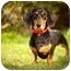 Photo 3 - Dachshund Dog for adoption in Ile-Perrot, Quebec - STELLA