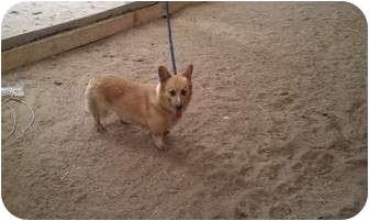 Cardigan Welsh Corgi Dog for adoption in castalian springs, Tennessee - corky