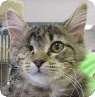 Domestic Shorthair Kitten for adoption in Muskogee, Oklahoma - Foxy