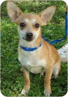 Chihuahua Mix Dog for adoption in Staunton, Virginia - Charlie