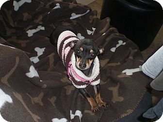 Chihuahua/Miniature Pinscher Mix Dog for adoption in Rescue, California - Maggie