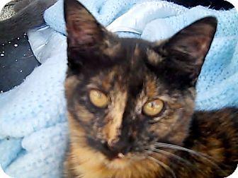 American Shorthair Kitten for adoption in Holmes Beach, Florida - Coco