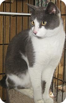 Japanese Bobtail Cat for adoption in Dallas, Texas - Ross