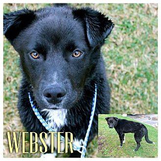 Border Collie/Labrador Retriever Mix Dog for adoption in Garden City, Michigan - Webster
